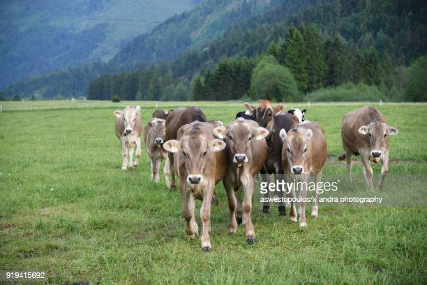 Beef cattle raised for beef consumption in the Tyrol Mountains in Austria. In Austria, Tyrol on May 31, 2017