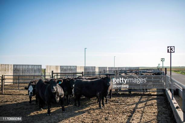 Beef cattle stand in a feed lot at the University of Saskatchewan's Livestock and Forage Centre of Excellence field laboratory in Saskatoon...