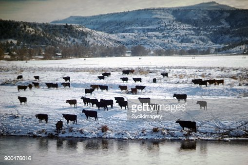 Beef cattle, Winter scene in rural Oregon