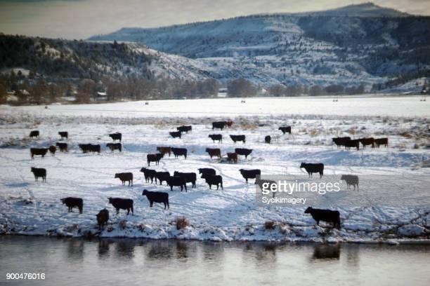 Beef cattle, Winter scene in rural Oregon