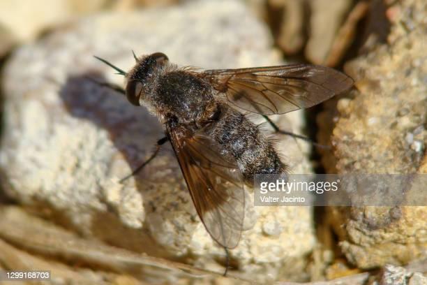 bee-fly (cytherea obscura) - cytherea fotografías e imágenes de stock
