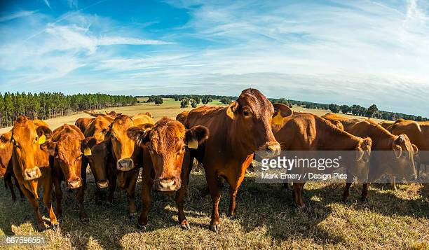 beefmaster herd of cows - emery stock photos and pictures