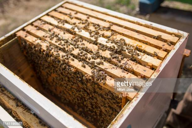 beehive in spring - manuka stock photos and pictures
