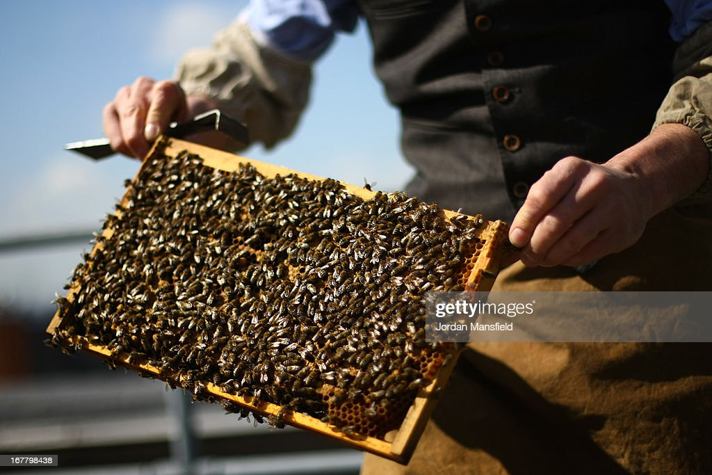 A beehive is inspected on the rooftop of Fortnum and Mason on April 30, 2013 in London, England. Fortnum and Mason have kept bees on their rooftop terrace for the last 7 years. At this time of year, the London Honey Company return the bees to their renovated hives.