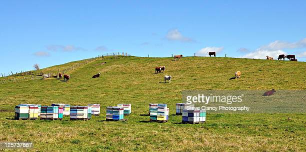 beehives and cows near ohope, bay of plenty - beehive new zealand stock pictures, royalty-free photos & images