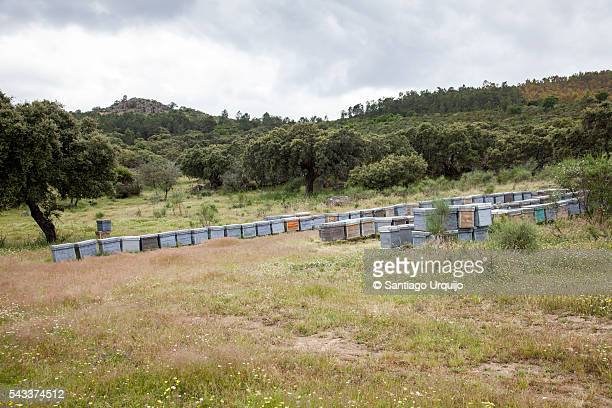 Beehives in a dehesa