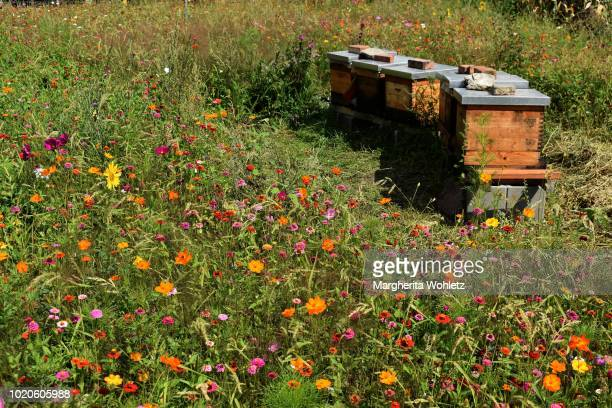 beehives in a flowery meadow - 養蜂 ストックフォトと画像
