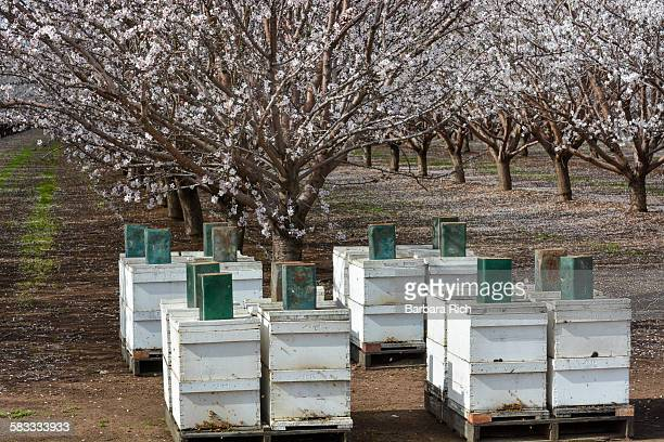 Beehives in front of blooming almond orchard