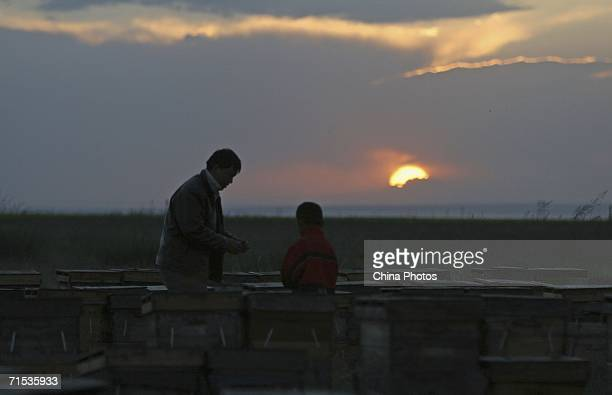 A beekeeper and his son check beehives at an apiary built in a rapeseed field located at an altitude of about 3290 metres on July 27 2006 in Gonghe...
