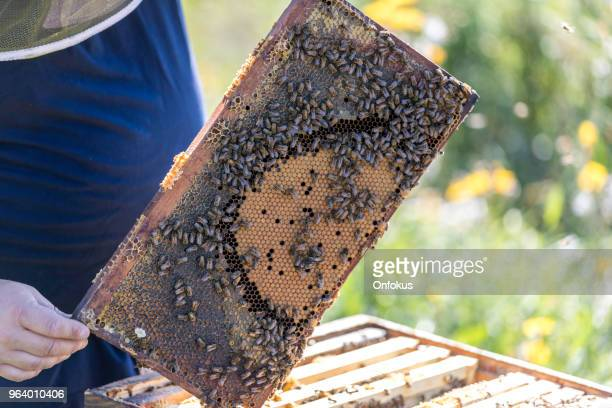 beekeeper at work, cleaning and inspecting hive - queen bee stock pictures, royalty-free photos & images