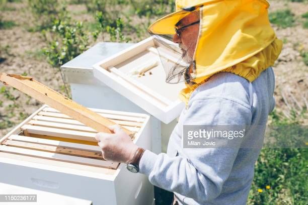 Beekeeper checking the honeycomb of a beehive
