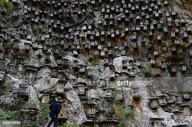 A beekeeper checks beehives on the cliff in Shennongjia nature reserve in central China's Hubei province on 27th April 2015