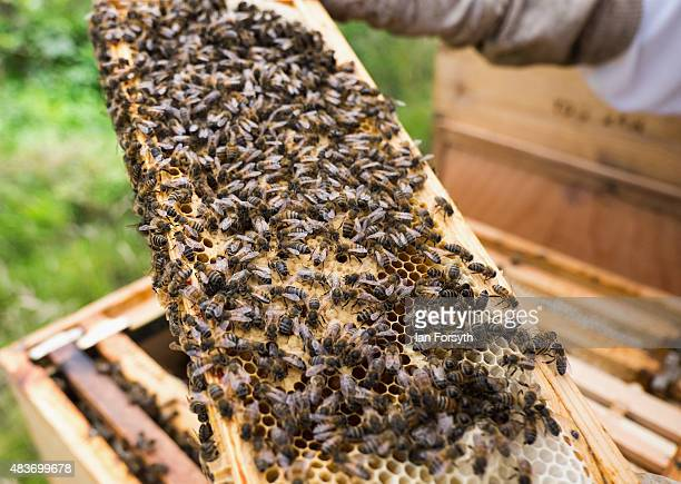 Beekeeper Dave Whyman inspects a bee covered wooden frame that stores the honeycomb inside his hives as he checks honey production on August 7 2015...
