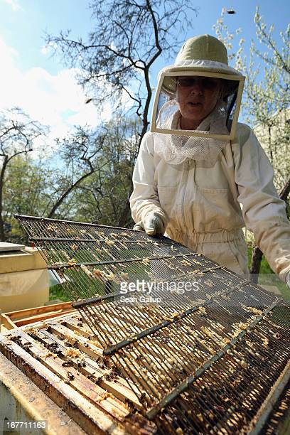 Beekeeper Eva Fisher removes a grate inside a hive during a weekly checkup on her four bee colonies next to an elementary school on April 28 2013 in...