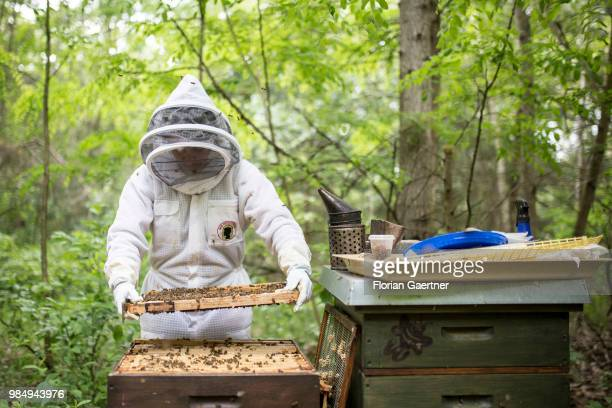 A beekeeper examining her bee colonies on May 18 2018 in Boxberg Germany