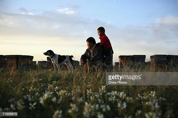 A beekeeper his son and dog rest at an apiary built in a rape field located on an altitude of about 3290 meters on July 27 2006 in Gonghe County of...