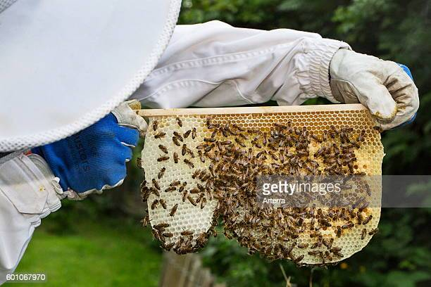 Beekeeper in protective clothing inspecting frame with honeycomb from honey bees