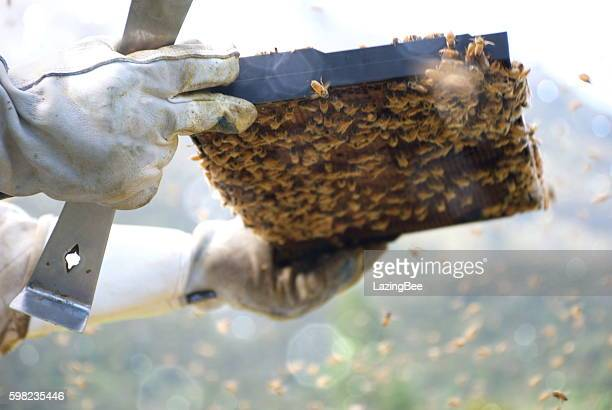 Beekeeper inspecting a Frame from a Beehive