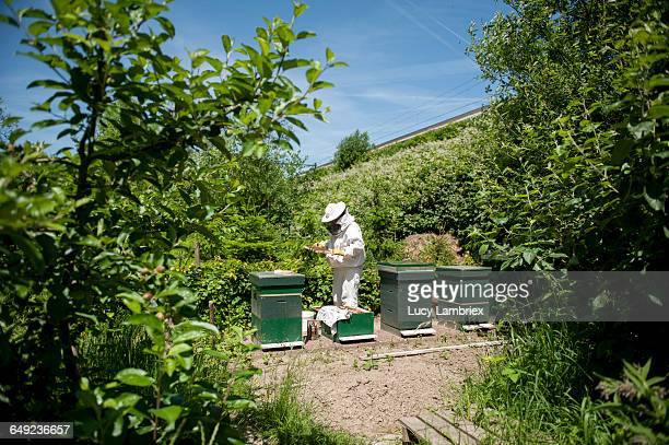 beekeeper inspecting her bee hives - gelderland stock pictures, royalty-free photos & images