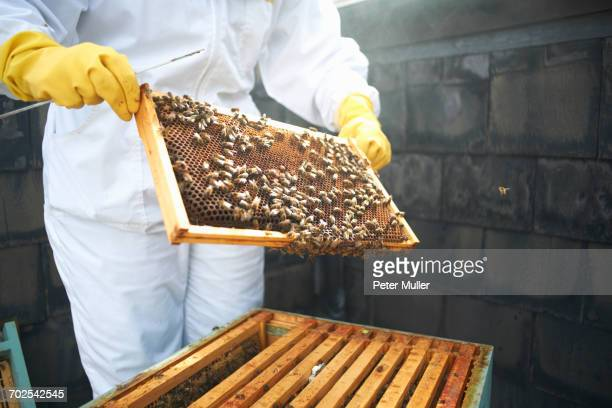 Beekeeper inspecting hive frame, mid section
