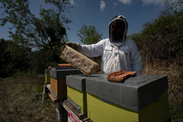 A beekeeper is holding a frame near multiple beehives
