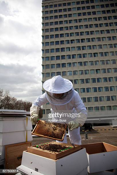 A beekeeper on the roof of the hotel Lancaster London next to Hyde Park It is early in the season and the beekeeper check on the bees to see if they...