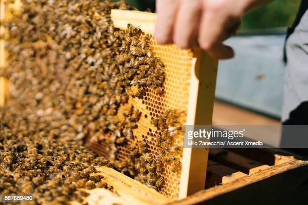 Beekeeper pulls honeycomb from beehive