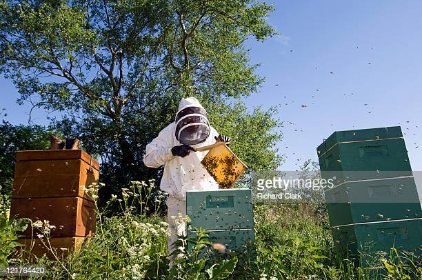 beekeeper removing frame from bee hive - 養蜂 ストックフォトと画像