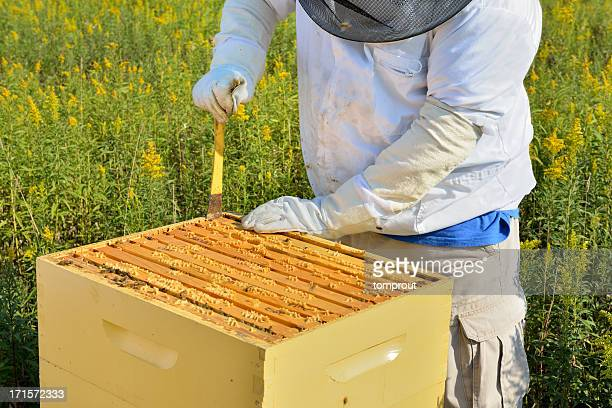 Beekeeper Removing Honeycombs