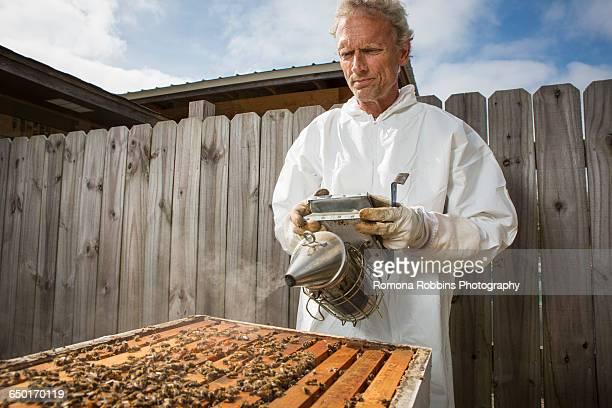 Beekeeper smoking bees in hive