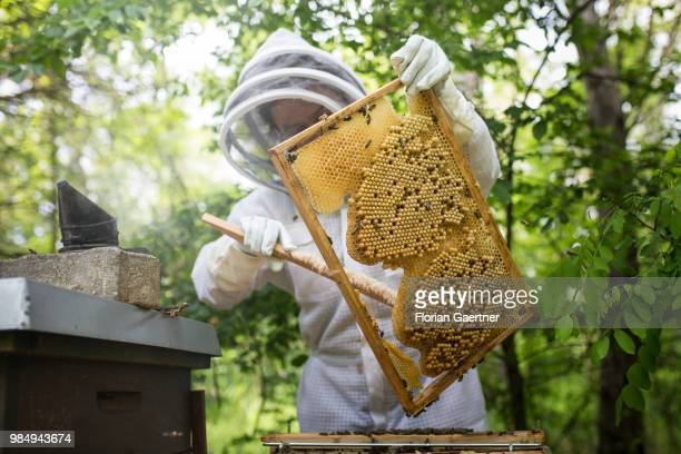 A beekeeper sweeps off a drone brood comb on May 18 2018 in Boxberg Germany
