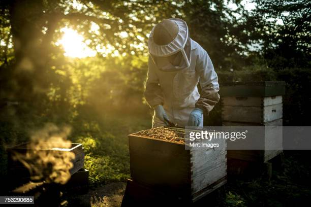 Beekeeper wearing a beekeeping suit with mesh face mask, inspecting an open beehive. Preparing to collect honey.