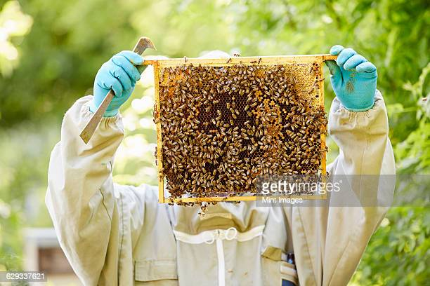 a beekeeper with blue gloves holding up a super or frame full of honey covered in bees. - honey bee stock pictures, royalty-free photos & images