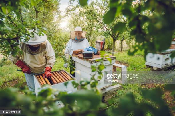 beekeepers collecting honey - ape foto e immagini stock