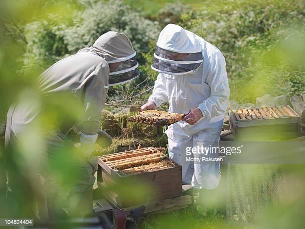 Beekeepers inspect bee hive