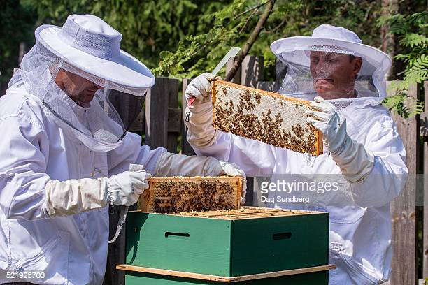Beekeepers taking frames out of beehive