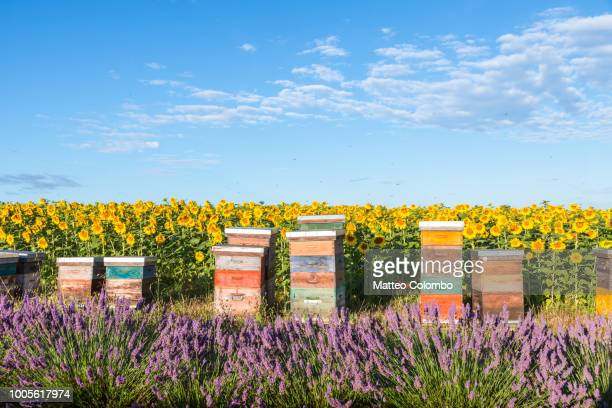beekeeping hives in provence, france - abeille photos et images de collection