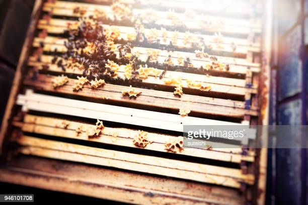 beekeeping in berlin - queen bee stock pictures, royalty-free photos & images