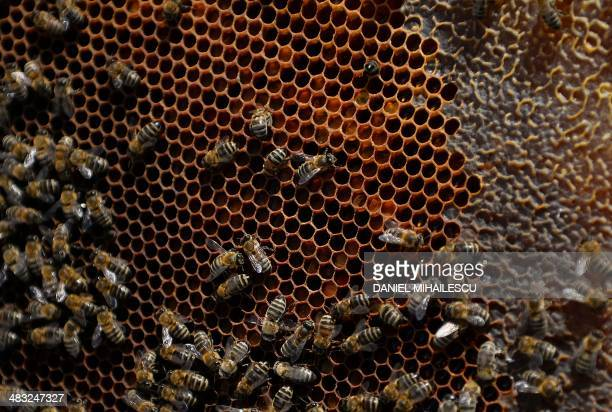Bees are pictured on a honey gofer at a beekeeper near Bucharest on April 4 2014 Bee venom to combat multiple sclerosis pollen for indigestion honey...