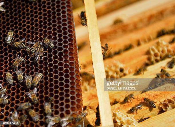 Bees are pictured on a honeycom in Bucharest on April 4 2014 Bee venom to combat multiple sclerosis pollen for indigestion honey to heal wounds the...