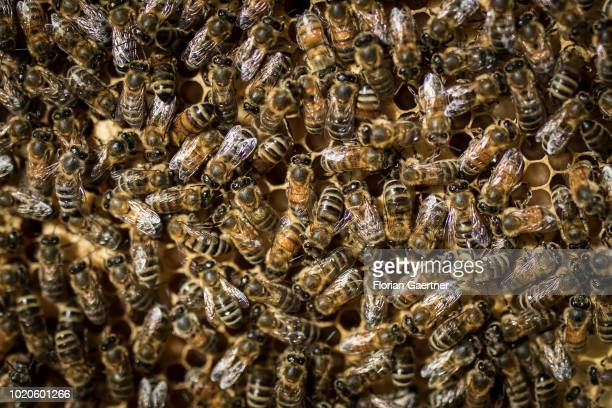 Bees are pictured on brood cells on June 29 2018 in Petershain Germany