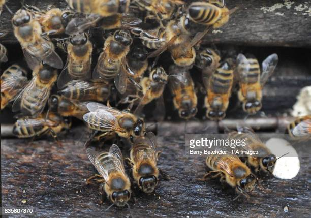 Bees at the entrance to a hive positioned close to Manuka bushes at the Tregothnan estate in Cornwall where they are producing the UK's first Manuka...