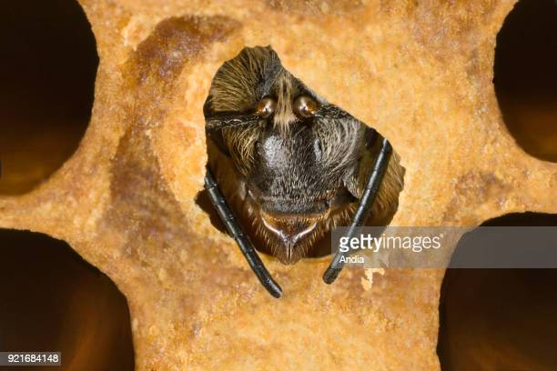 Bee's birth head of a bee breaking the coverplate to leave its alveolus