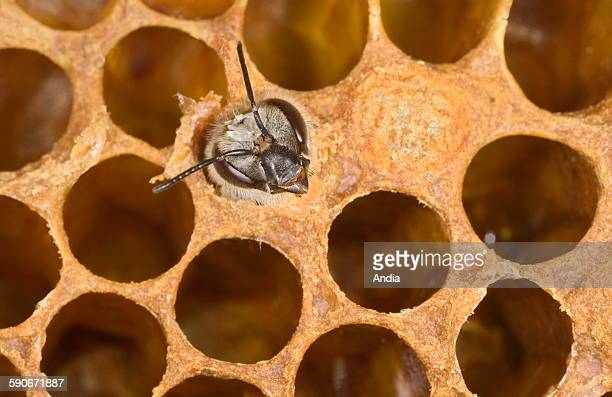 Bees Birth of a worker bee Here going out of its alveolus by making a hole in the operculum