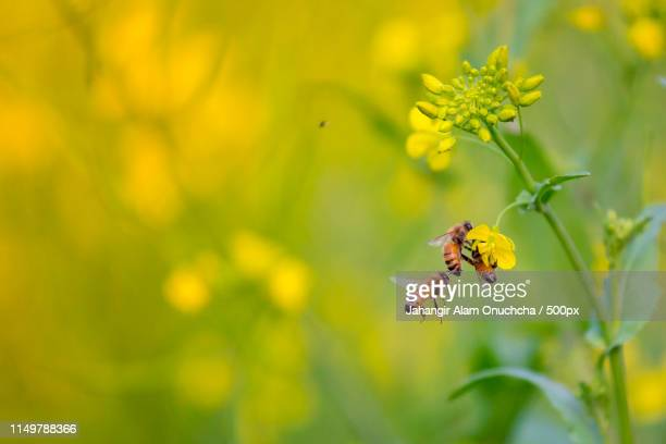 bees collecting honey from the mustard flower - honey bee stock pictures, royalty-free photos & images