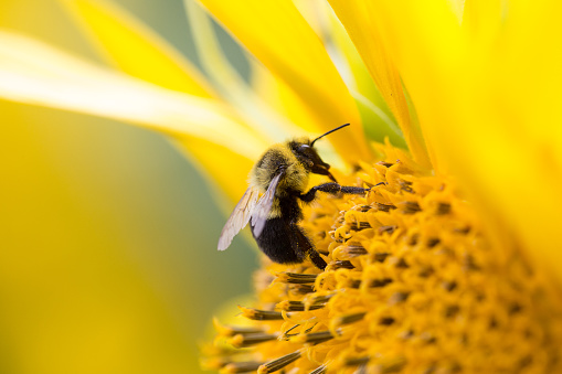 Bees collecting pollen from a sunflower. 1024991722