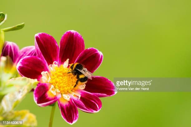 bees collecting pollen from dahlia flowers in springtime - launceston australia imagens e fotografias de stock