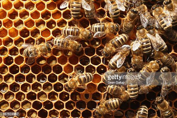 Bees congregate on a honeycomb in the colony of beekeper Reiner Gabriel in the garden of his home near Berlin on April 25 2013 in Blankenfelde...