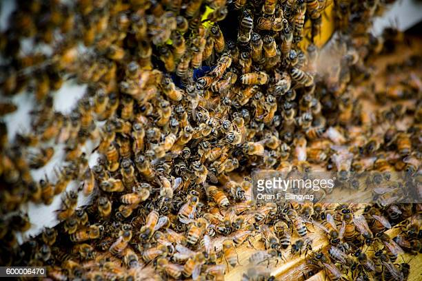 Bees crowd the entrance to one of five beehives on the roof of the Waldorf Astoria Hotel on Manhattan in New York Since March 2010 when beekeeping in...