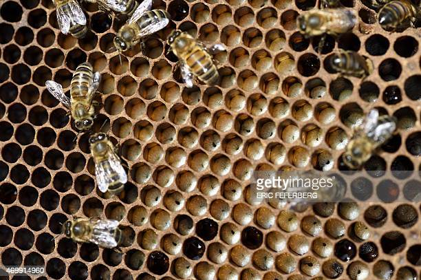 Bees feed on larvae in honeycombs of a frame in a hive at the Luxembourg Gardens' beekeeping school on April 15 2015 in Paris AFP PHOTO /ERIC...